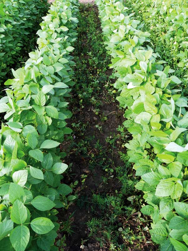 weeds in soybean field