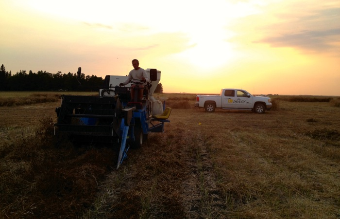 man harvesting a canola swath