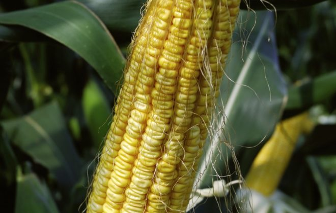 What's new in corn hybrids