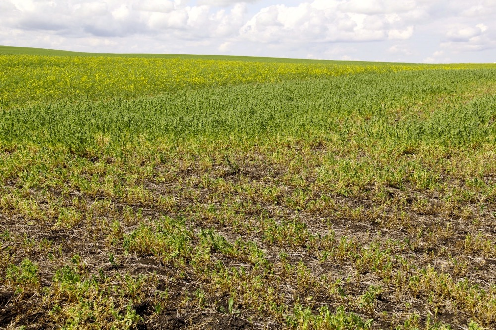 This pea field near Three Hills, Alta., was devastated by root rot in 2014.