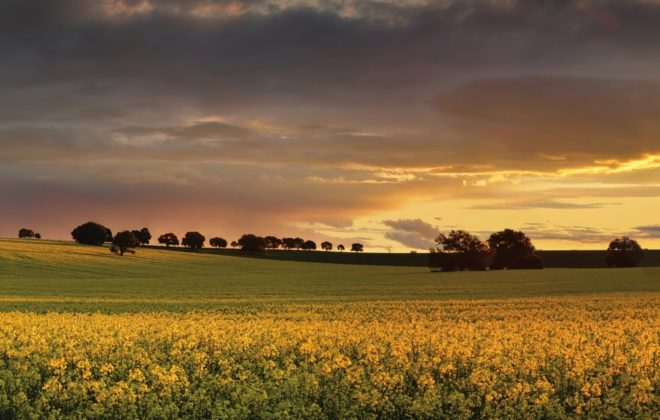 Canola farmlands in rural Central West of NSW at sunset, the last rays spread their warm light on the golden canola. Panorama