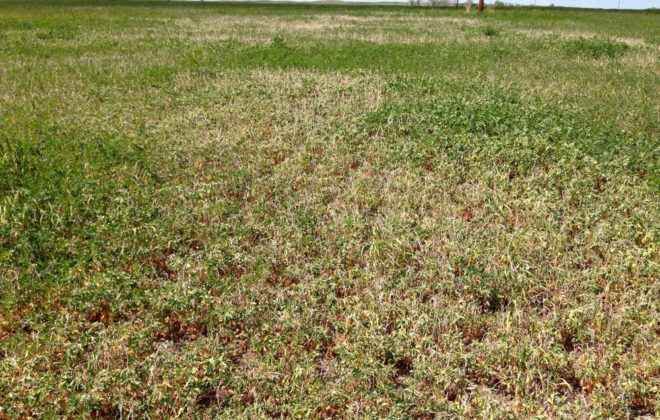 Drought conditions in North Dakota are causing spring alfalfa to wilt.