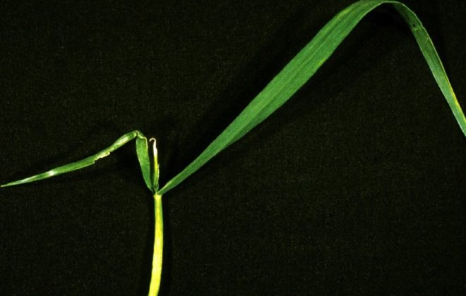 Wheat plant showing new growth with a water-soaked appearance, due to boron deficiency.