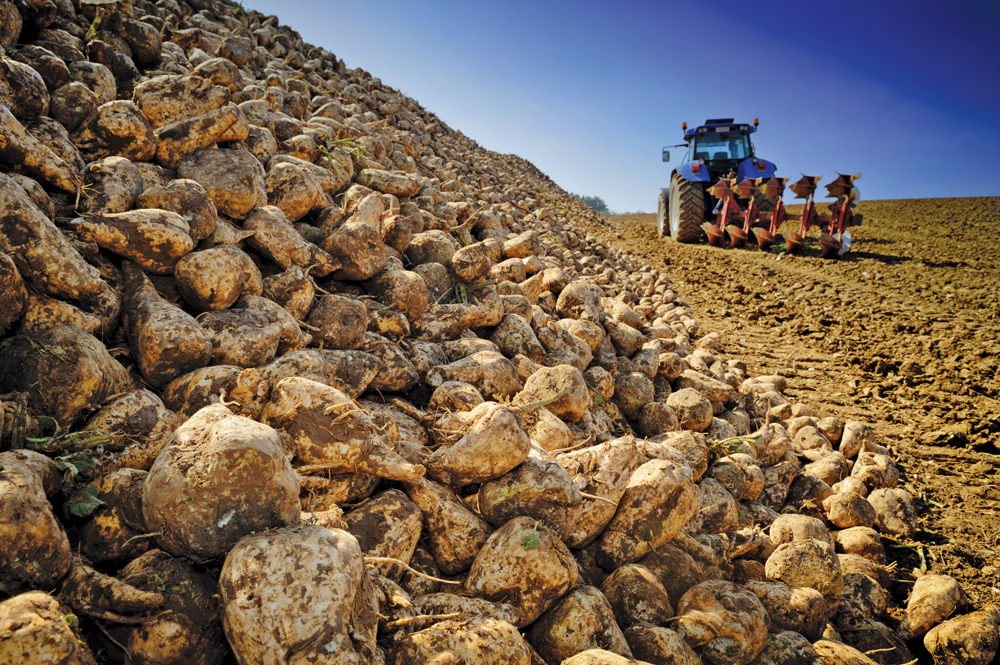 Agricultural vehicle harvesting sugar beet on cultivated field