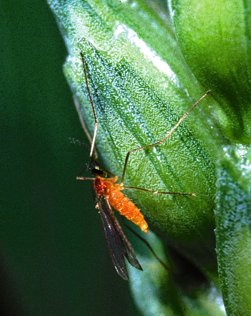 SeCan says wheat midge tolerance saves producers $40 to $60 million per year.