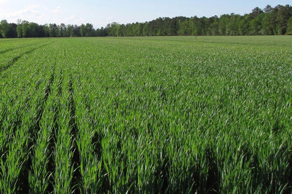 Hard white winter wheat growing in North Carolina in 2010. (Dave Marshall photo courtesy ARS/USDA)