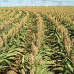 Grain sorghum under irrigation at Bushland in northern Texas. (Susan O'Shaughnessy photo courtesy ARS/USDA)