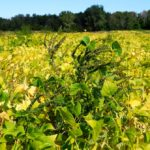 Weed management in edible beans is challenged by various factors, including the availability of broadleaf herbicides.