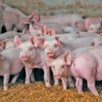 One Dutch pork producer is preparing to implement a blockchain initiative to make its production chain more transparent.