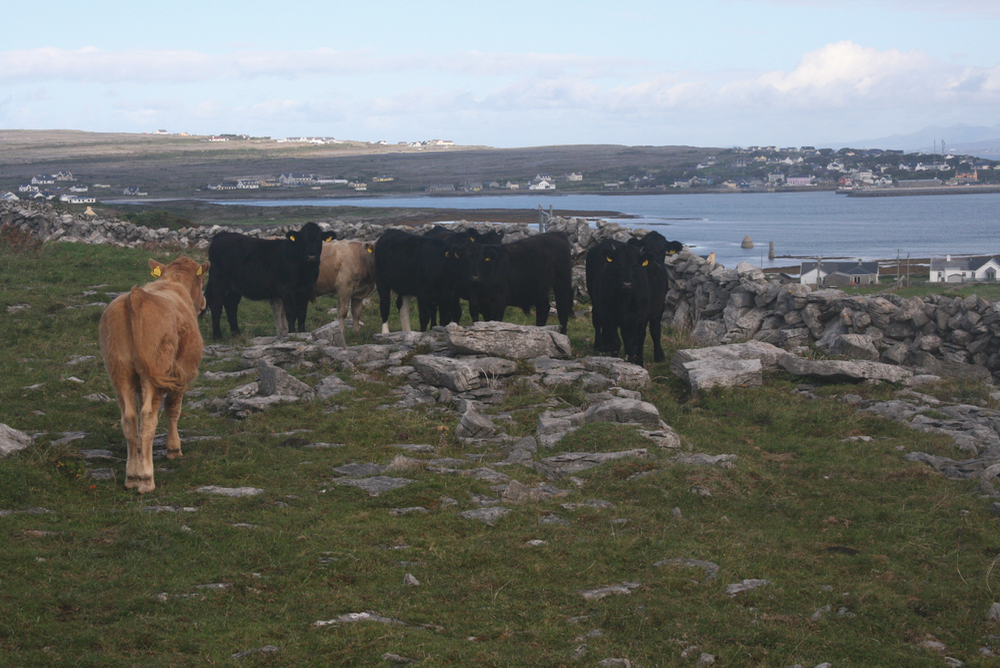 Patraic Ó Flaithearta's cattle on summer pasture at Inis Mor Sept. 2018.