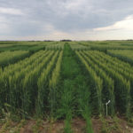 AC Foremost red spring wheat at Killam, Alta. The left side represents standard agronomic management while the right side includes standard agronomic management plus 30 pounds of nitrogen per acre applied prior to stem elongation. It also includes applications of plant growth regulator, flag fungicide and head fungicide. The plot was part of a three-year project in Alberta dedicated to identifying yield-maximizing practices in wheat and barley.