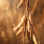 Canadian farmers enter a challenging soybean market