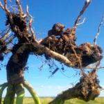Hope ahead for more durable clubroot resistance