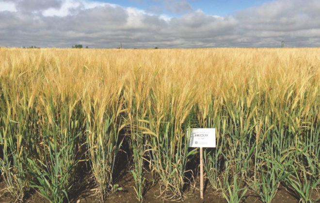 CDC Fraser shows good lodging resistance, an important trait for maintaining malting quality.