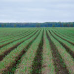 Researchers are assessing the benefits of crops seeded into potato hills, similar to this nurse crop in carrots.