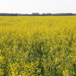 At a glance: 10 tips to improve survival of your canola seed