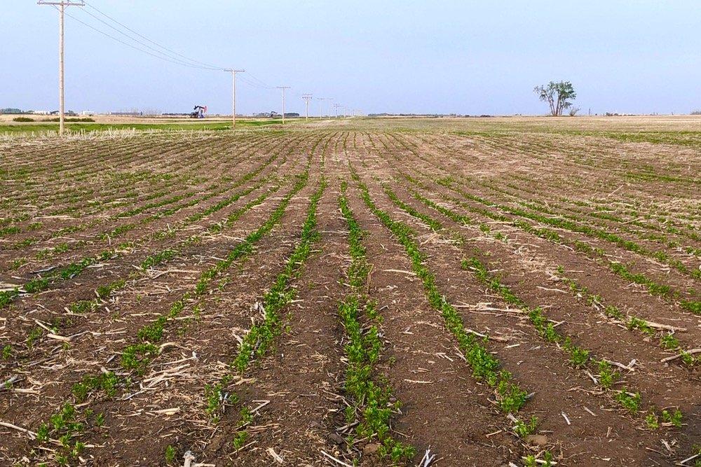 A green lentil crop in southeastern Saskatchewan on May 31, 2019. (Leeann Minogue photo)
