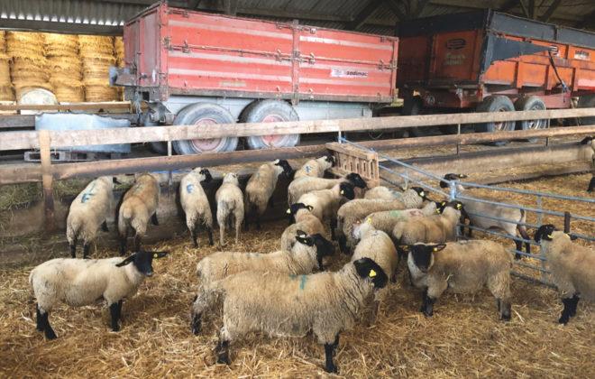 Sheep indoors at Frain's farm.