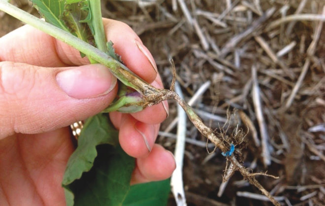 Canola genetics can now manage blackleg quite well, but no matter the crop, growers also need to choose seed that will help them mitigate their risk.