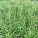 Pest Patrol: The latest word on nipplewort in cereals