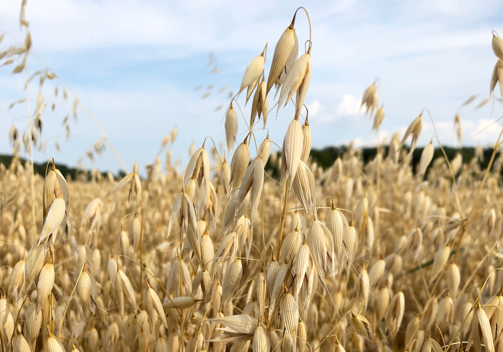 The researchers found that an N rate of 90 lb./ac. provided the most consistent economic returns when oat prices are between $2.50 to $3 per bushel.