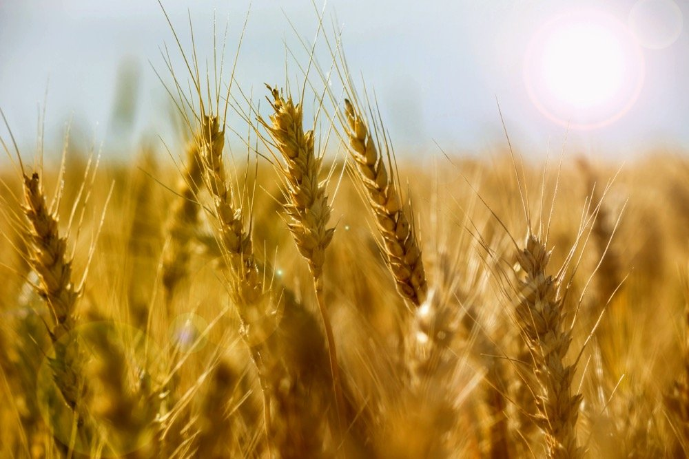 File photo of a wheat crop in Argentina. (Gracieross/iStock/Getty Images)