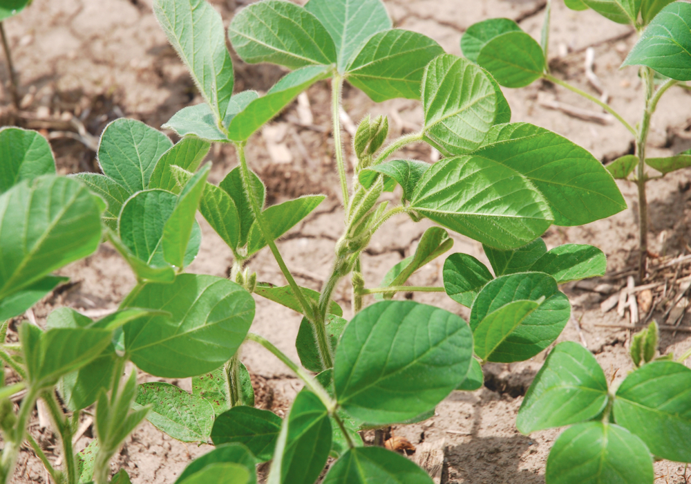 Use of inoculants — even in long-standing soybean fields — is a cost-benefit decision for a grower.