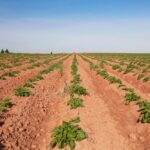 File photo of a Prince Edward Island potato field. (Onepony/iStock/Getty Images)