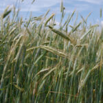 Small grains like rye are the focus of a pilot project to encourage growers to lengthen their rotations with cereals.