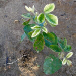 "Soybean planting showing leaf injury symptoms caused by a ""bleaching"" herbicide."