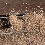 Harvested Saskatchewan lentils. (Bobloblaw/iStock/Getty Images)