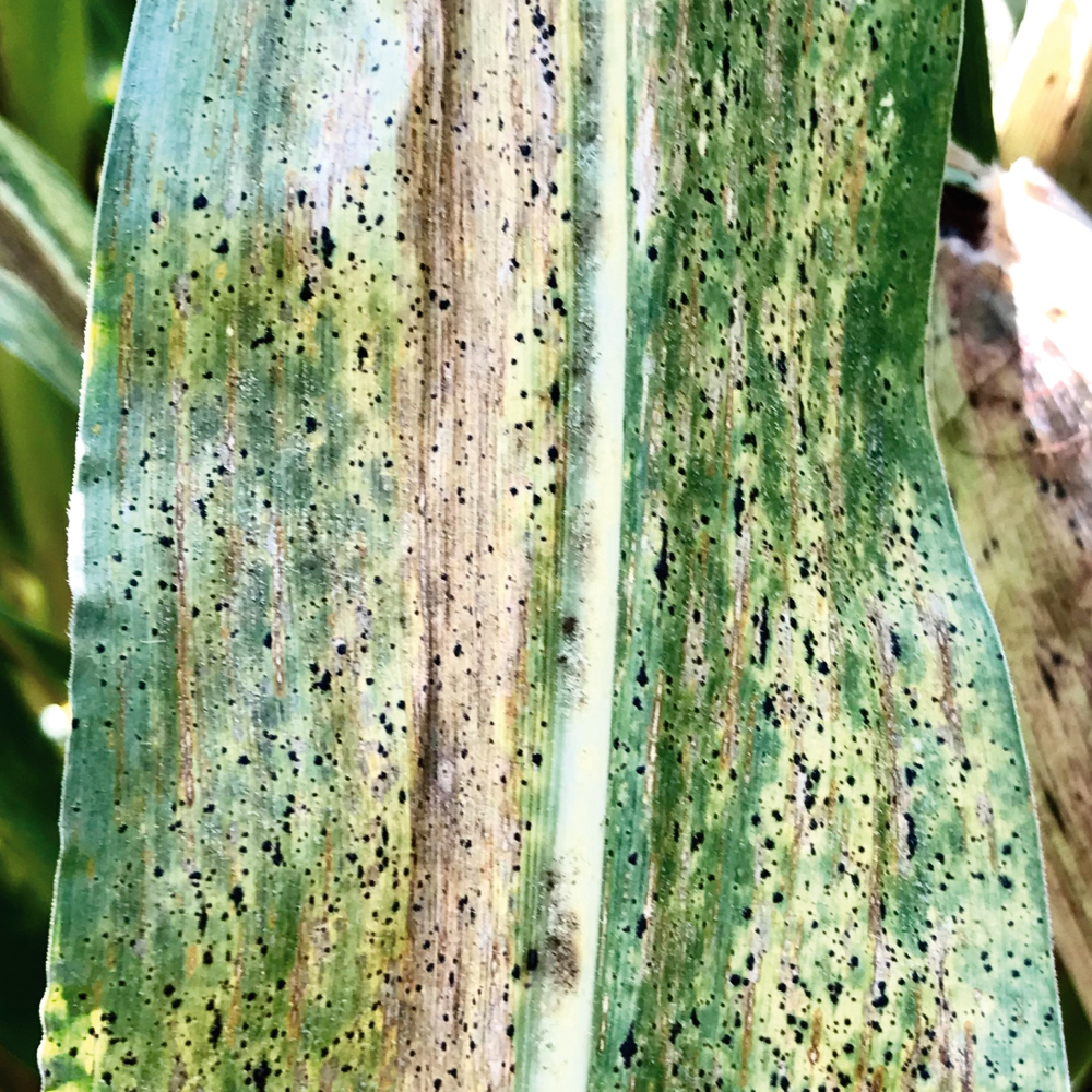 The black spots of tar spot may look like alternaria or insect droppings but they cannot be removed from the leaf.