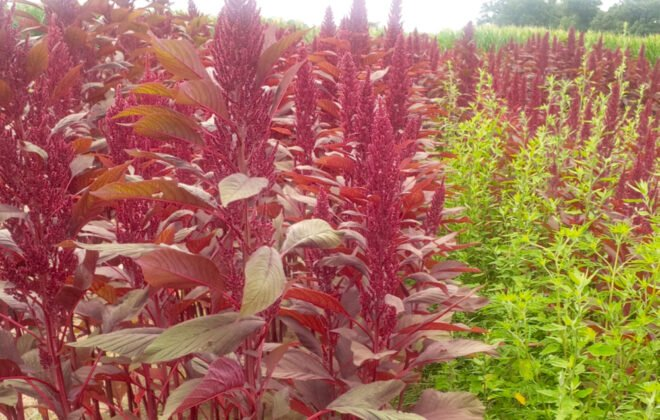As amaranth varieties tested at AAFC-Harrow matured, their bright colouring differentiated them from nearby weeds.
