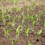 Corn seedlings on June 1, 2020. (Farmtario photo by John Greig)