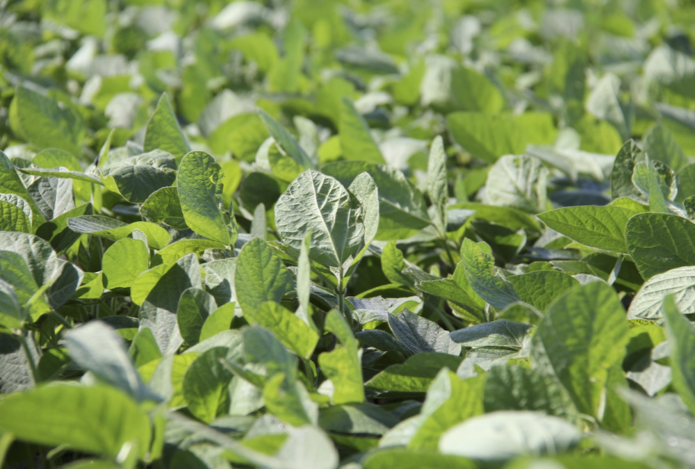 Soy Canada says the Prairies are the country's growth region for soybeans.